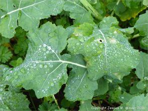 Raindrops on leaves of oilseed rape plants in December