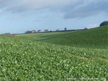 Fields of young oilseed rape plants in December