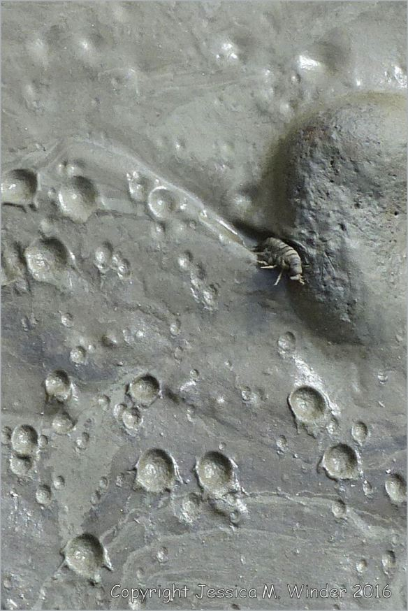 Rain-pitted liquid mud with trapped sandhoppers
