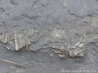 Belemnite fossils in horizontal Belemnite Marl beds exposed at low tide in Seatown, Dorset, England.
