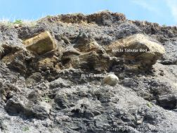 Birchi Tabular Bed and Birchi Nodule in cliff at Charmouth, Dorset