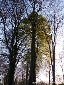 Beech tree with new leaves