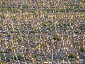 Maize stubble in late evening light