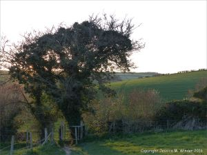 Stile in a hedgerow leading from pasture to wheat field