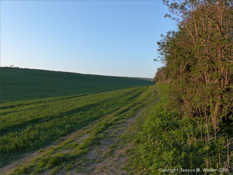 View of spring wheat field and hedgerow at dusk