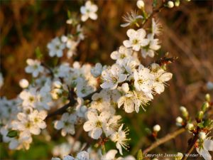 Blackthorn blossoms in an English hedgerow glowing in the light of the evening sun