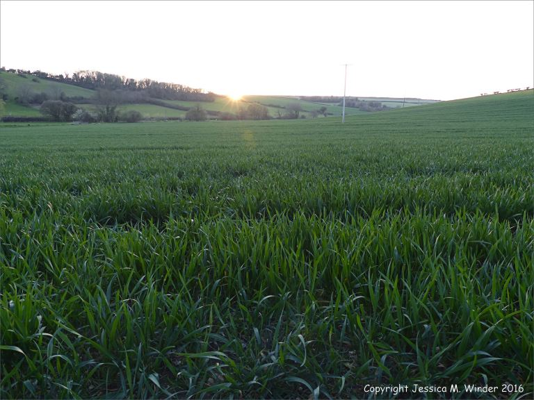 Field of spring wheat just as the sun disappears below the horizon