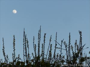 Thin twigs of blackthorn with blossoms viewed against the night sky with moon