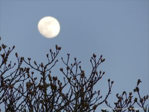 Bare branches of horse chestnut tree with leaf buds against an evening sky with moon