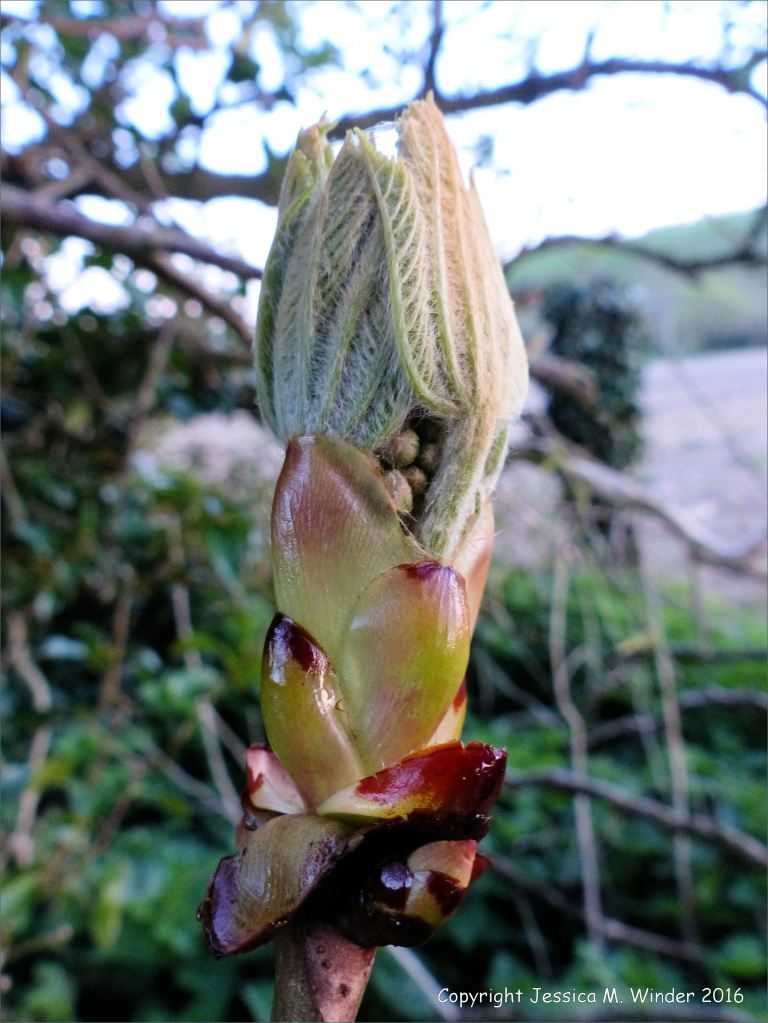 Folded horse chestnut leaves emerging from a sticky bud