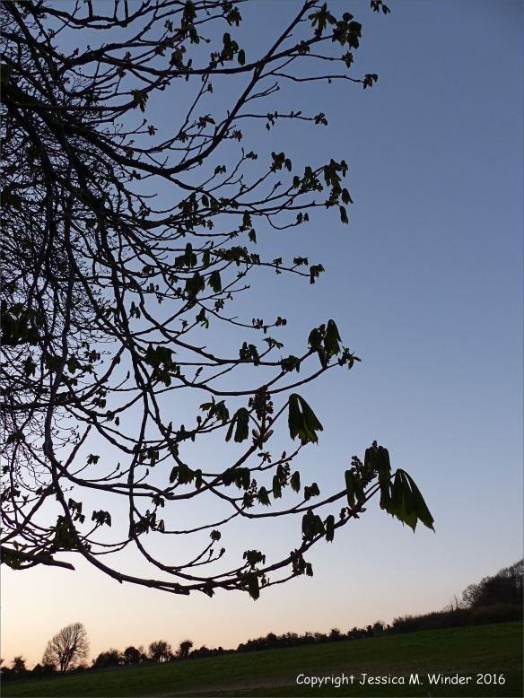 Bare branches of a horse chestnut tree with opening leaf buds silhouetted against the late evening sky