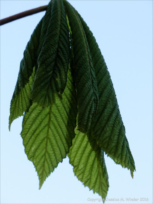 Opening leaves on a horse chestnut tree viewed in silhouette against the clear sky at dusk