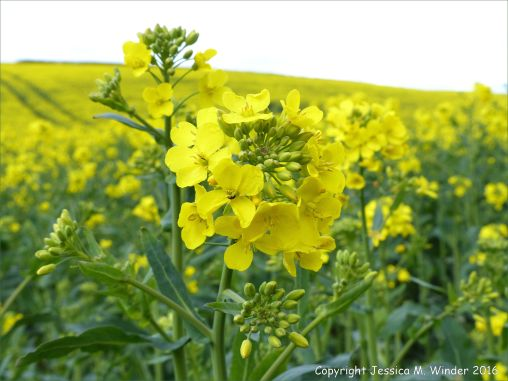 Yellow flowering oilseed rape crop in spring
