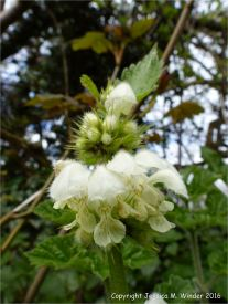 White Dead Nettle in a hedgerow