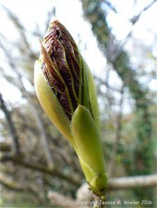 Leafbud opening on tree