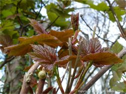 New leaves opening in spring