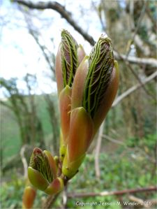Leafbuds opening on a tree in spring