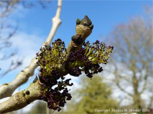 Flowers and leaf buds on Ash tree