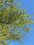 Larch needles opening in Spring