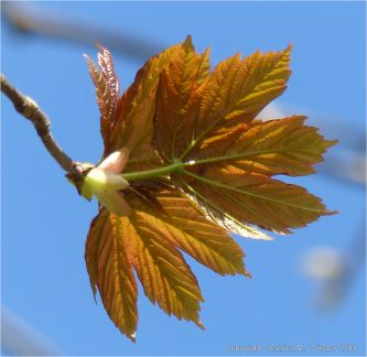 Tree leaves opening in Spring