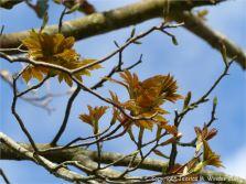 Tree leaves opening in Spring