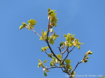 Tree leaves and flowers opening in Spring