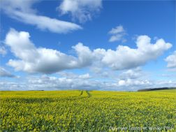 Yellow flowering oilseed rape crop in spring