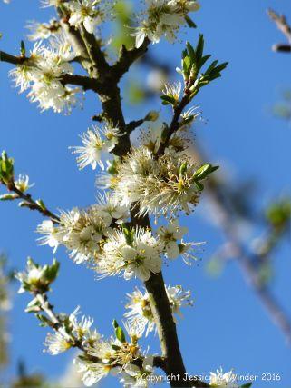 White Buckthorn blossoms in Spring