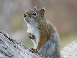 Canadian Red Squirrel