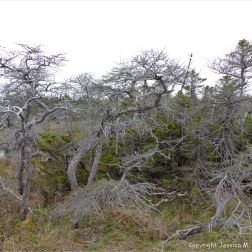 A group of gnarled and stunted trees growing in a bog