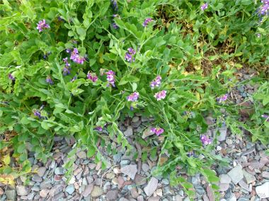 Flowers on the shingle spit near Partridge Island
