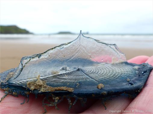 By-the-wind sailor (Velella velella Linnaeus) on the beach at Rhossili, Gower, South Wales.