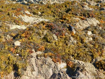 Seaweeds on rocks at Rocquaine Bay in Guernsey