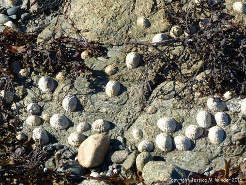 Limpets and seaweed on rocks at at Rocquaine Bay