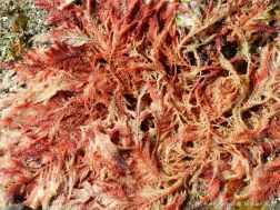 Red seaweeds at Rocquaine Bay