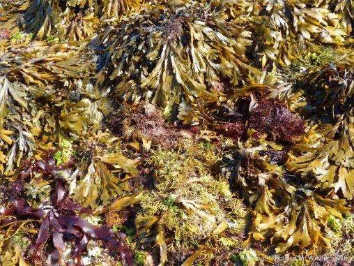 Common British seaweeds at Rocquaine Bay