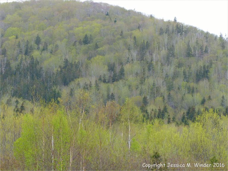 The golden green colour of newly opening leaves on hillside trees in Cape Breton