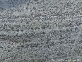 Macro of St Peter Port Gabbro on the shore at Spur Bay in the Channel Island of Guernsey, showing crystals aligned into bands.