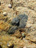 Cobo Granite with xenolith