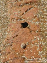 Rock close-up of aplite vein running through Cobo Granite