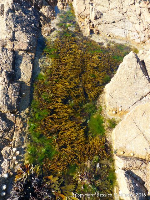 Seaweed in rockpool at Cobo Bay