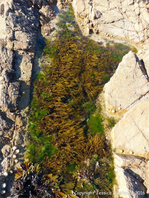 Seaweed in rockpool at Cobo Bay