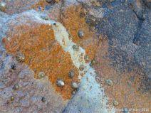 Granite-Diorite junction at Cobo Bay with calcareous algal encrustation.