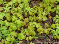 Forest floor covered with Sugar Maple seedlings