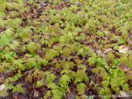 Forest floor covered with Sugar Maple seedlings at Lone Shieling