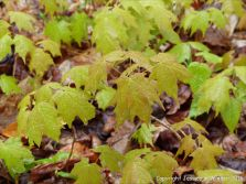 Raindrop-covered Sugar Maple seedlings on the forest floor at Lone Shieling