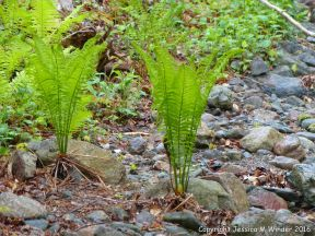 Ferns on the river bank at Lone Shieling