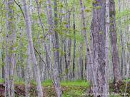 Sugar Maple trees at the Lone Shieling