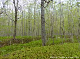 Sugar Maple trees at the Lone Shieling with seedlings carpeting the forest floor