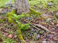 Moss-covered exposed roots of a Sugar Maple tree at Lone Shieling